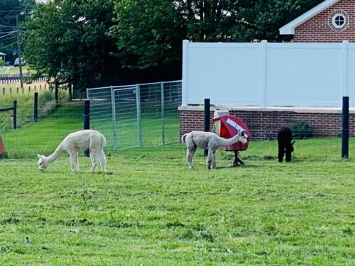 PA alpaca farm